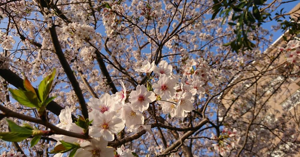 家族と過ごした桜の季節-2018